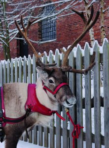 Blists Hill Victorian Town. Pet a reindeer at this year's Victorian Christmas weekends.
