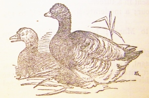 Toulose goose from Mrs Beeton's Book of Household Management (1869 edition which belongs to Chef Adam Gray).